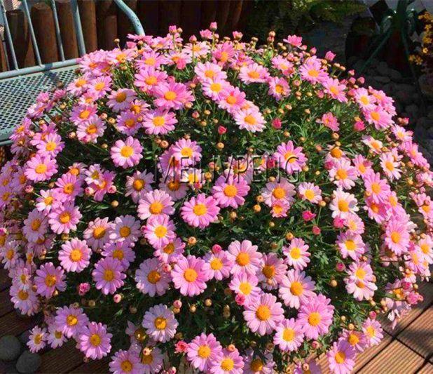 aliexpress chrysanthemum seeds