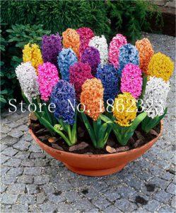 aliexpress fragrant hyacinths