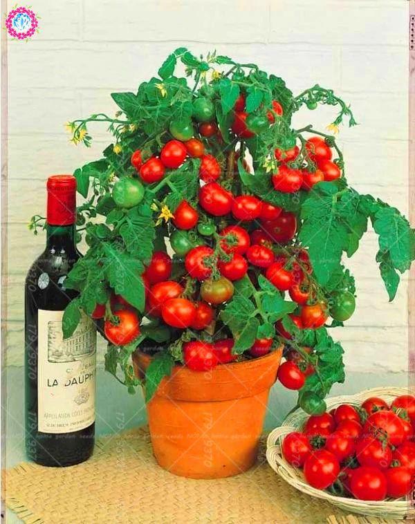 aliexpress cherry tomatoes
